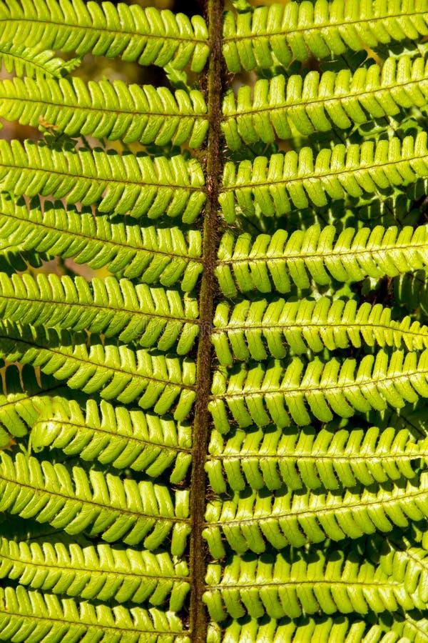Detalhe ascendente próximo de uma folha fresca da samambaia que cresce em um jardim formal imagem de stock royalty free