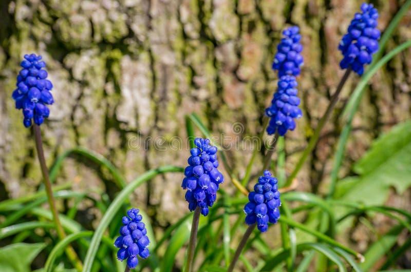 Detalhe azul da flor da flor da uva do jacinto do Muscari imagem de stock royalty free