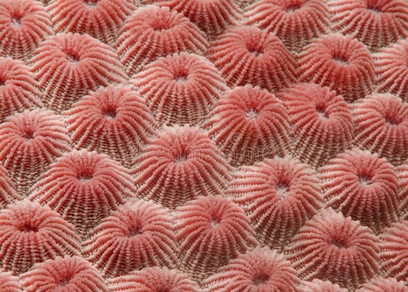 Detalhe coral imagens de stock royalty free