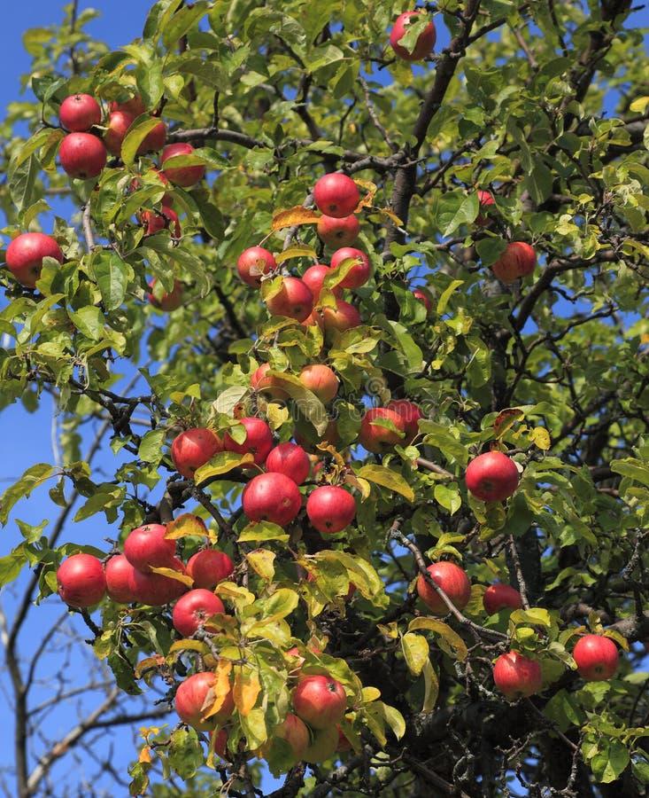 Detalhe da árvore de Apple imagem de stock