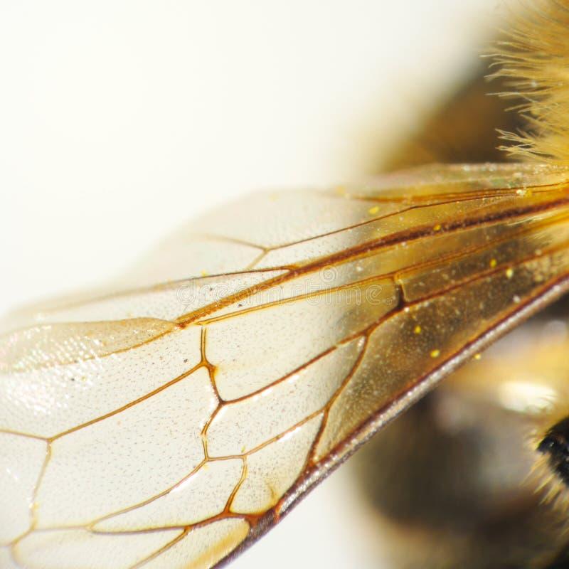 Detalhe da asa da abelha imagem de stock