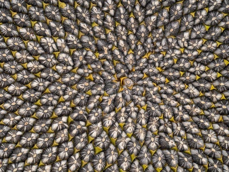 Detalhe da cabeça da semente de girassol, teste padrão de Fibonacci imagens de stock