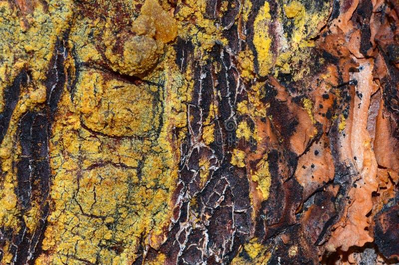 Detalhe da casca de pinheiro foto de stock