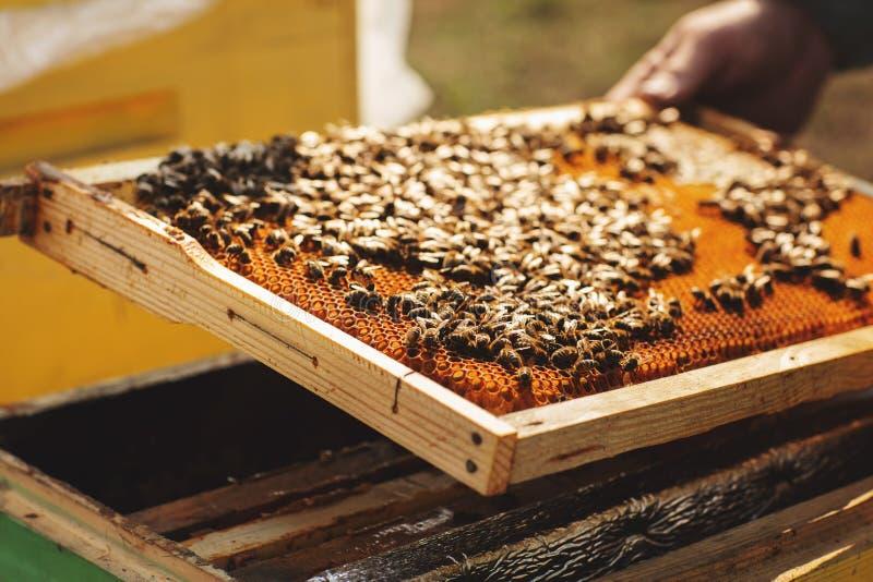 Detalhe da colmeia da abelha Apicultor Inspecting Bee Hive após o inverno foto de stock