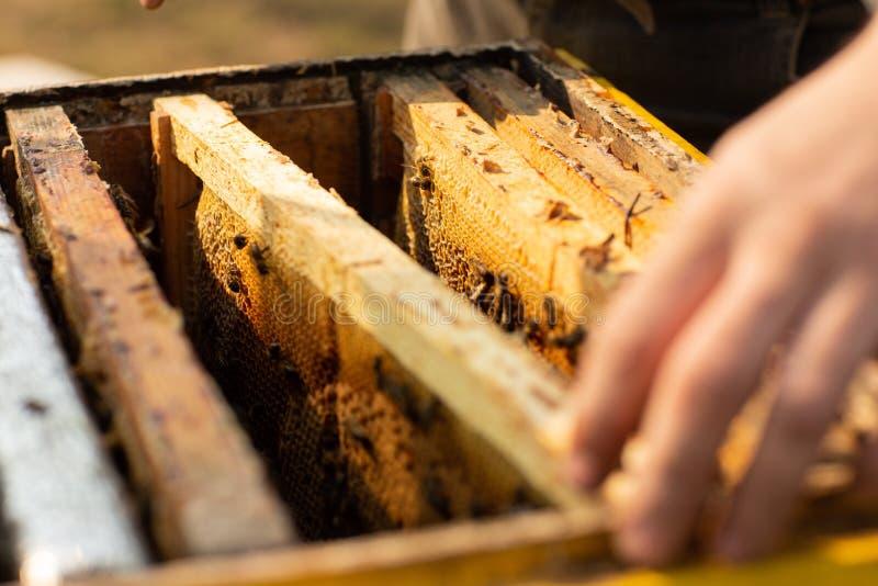 Detalhe da colmeia da abelha O apicultor está trabalhando com abelhas e colmeias no apiário foto de stock royalty free