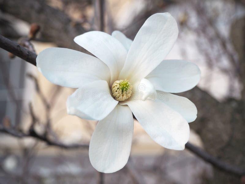Detalhe da flor branca da magnólia de estrela Stellata da magnólia que floresce na mola adiantada fotos de stock royalty free