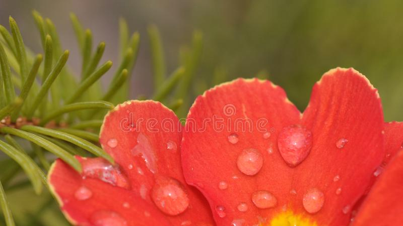 Detalhe da flor da prímula com gotas da água foto de stock