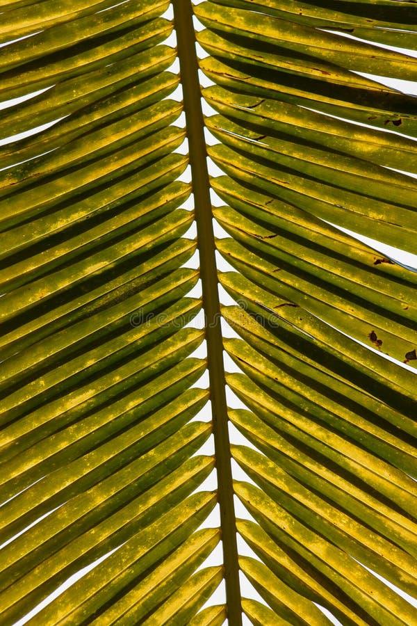 Detalhe da folha de palmeira imagens de stock royalty free