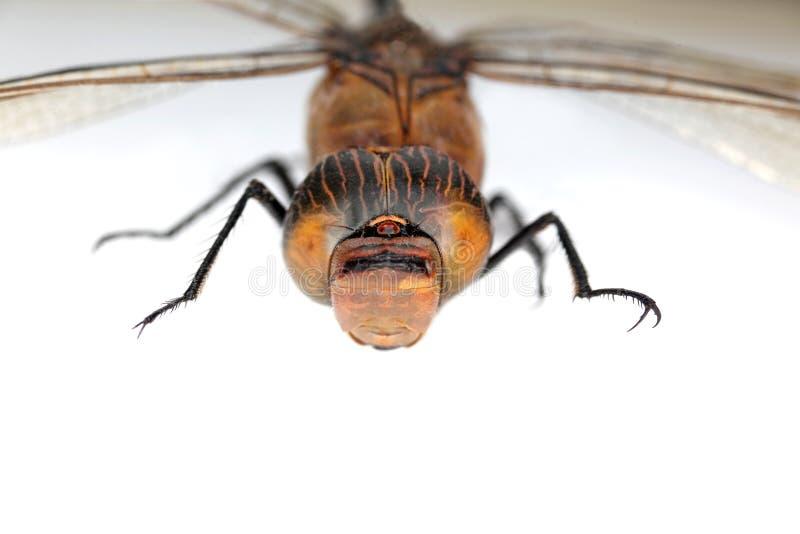 Detalhe da libélula fotografia de stock