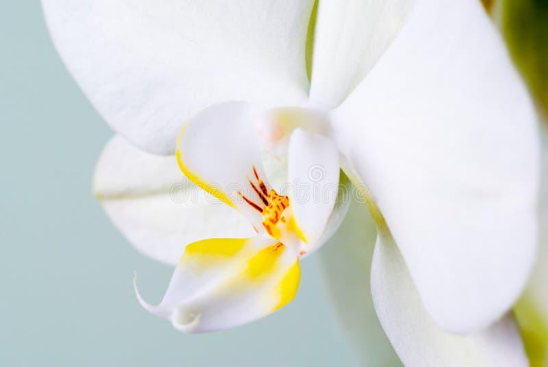 Detalhe da orquídea. imagem de stock