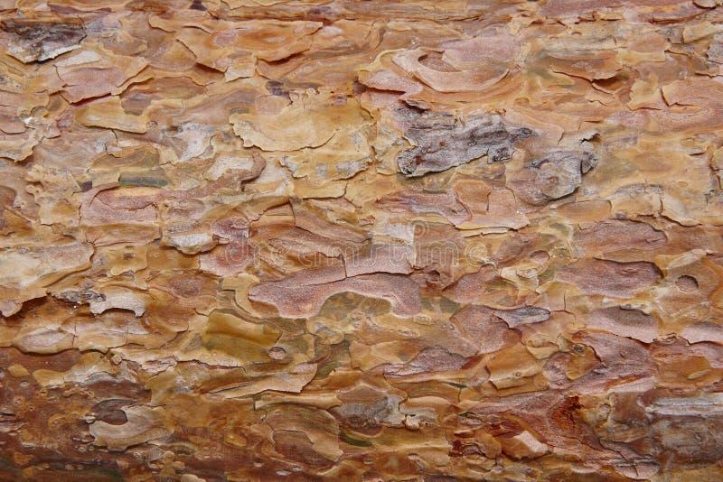 Detalhe da seção da casca da madeira de pinho Indústria da madeira Backgroun da natureza fotografia de stock royalty free
