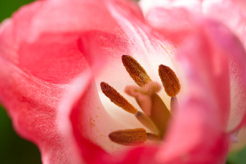 Detalhe da tulipa fotografia de stock