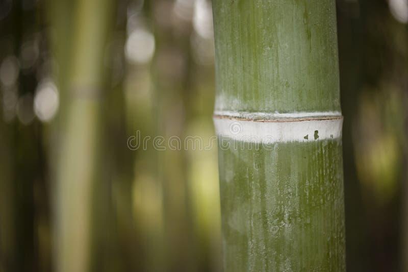 Detalhe das hastes de bambu da floresta foto de stock