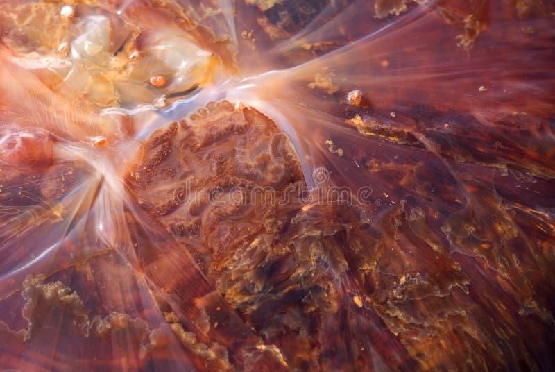 Detalhe das medusas fotografia de stock royalty free