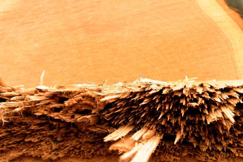 Download Detalhe De árvore De Carvalho Tragada Foto de Stock - Imagem de spiky, spiny: 53836