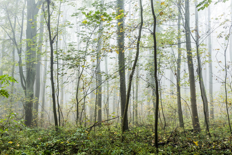 Detalhe de árvores na floresta nevoenta imagens de stock royalty free