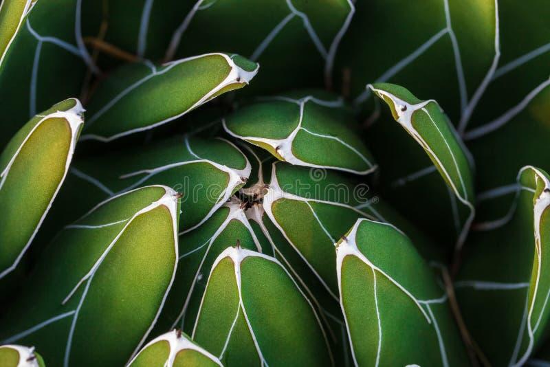 Detalhe de agave da rainha Victoria dos victoriae-reginae da agave, agave real, uma espécie pequena de planta suculento notável p imagem de stock