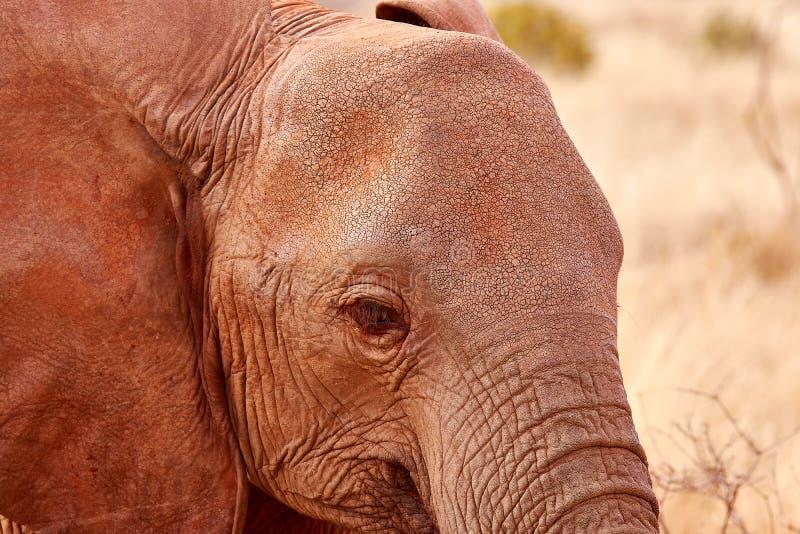 Detalhe de cabeça do elefante com olho e orelha Safari africano em Kenya foto de stock