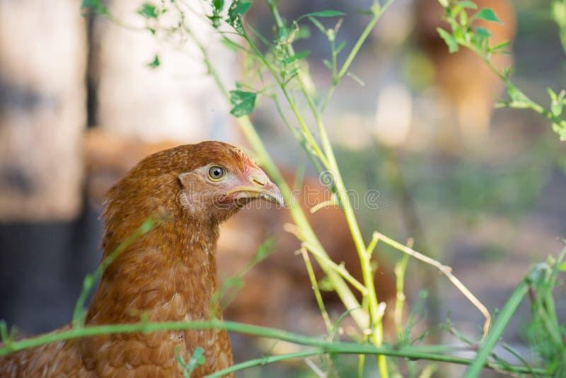 Detalhe de cabeça marrom da galinha foto de stock
