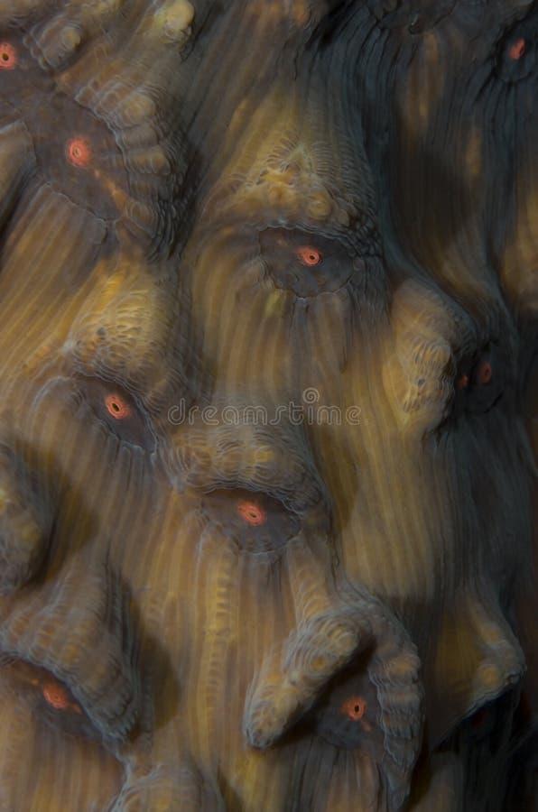Detalhe de coral da orelha de elefante. foto de stock royalty free