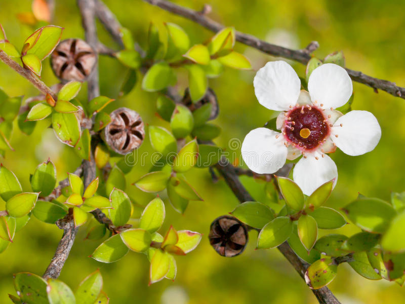 Detalhe de flor do manuka imagem de stock