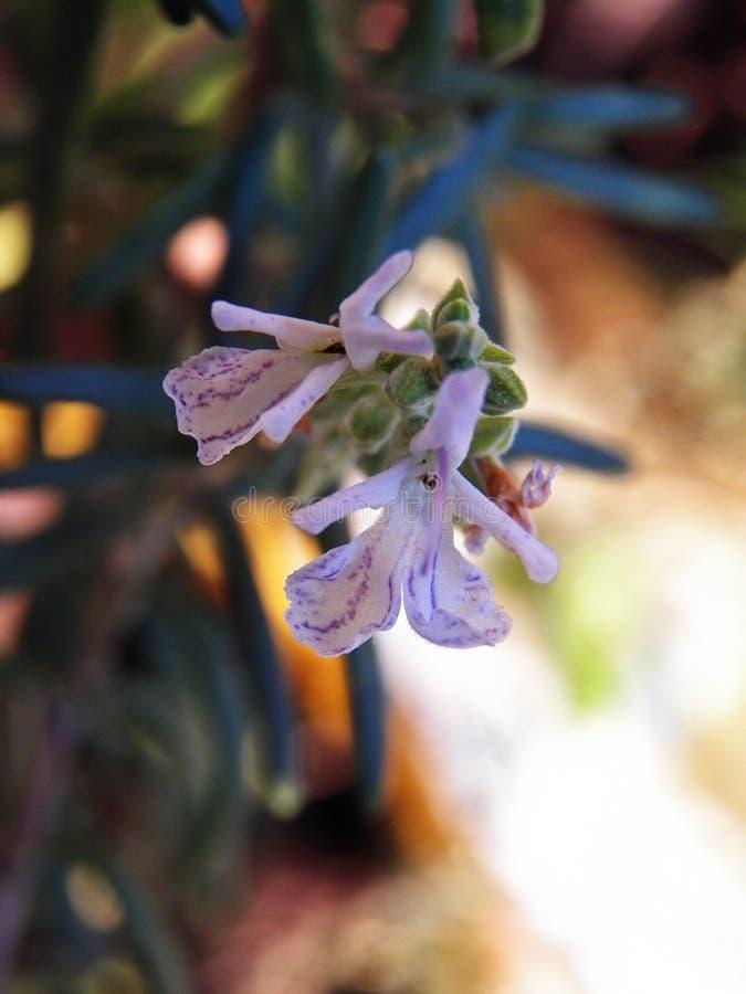 detalhe de flor dos alecrins imagem de stock royalty free