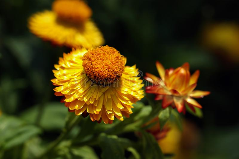 Detalhe de flor eterna amarela ou Strawflower ou margarida comum & x28; Xerochrysum Bracteatum& x29; com fundo obscuro imagens de stock royalty free