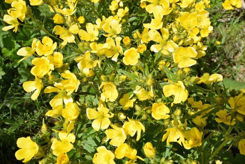 Detalhe de flores do botão de ouro amarelo Gran Canaria imagem de stock royalty free