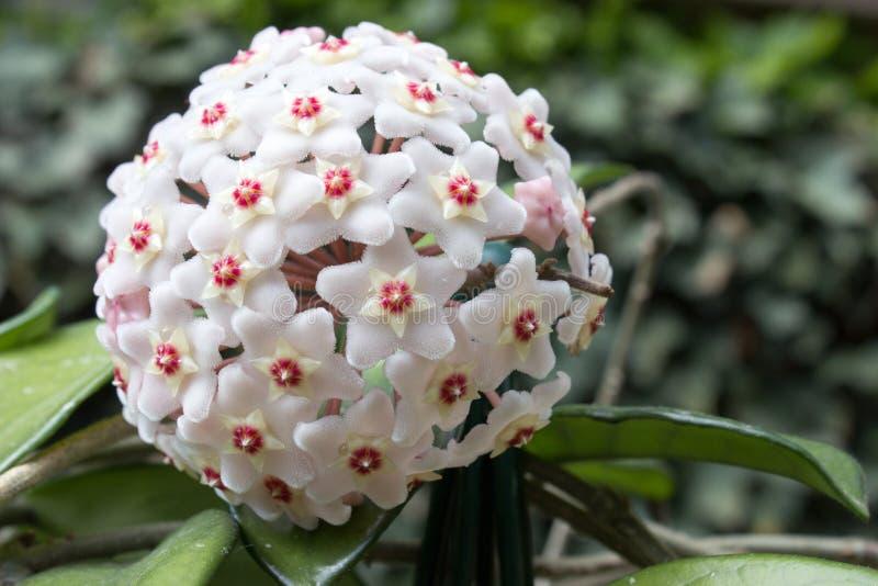Detalhe de flores do carnosa de Hoya da planta de cera foto de stock royalty free