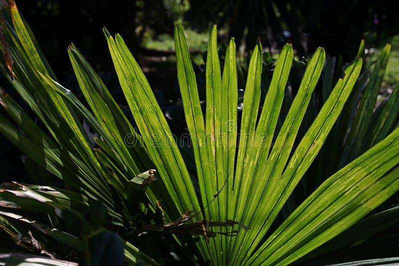 Detalhe de folha de palmeira fotos de stock