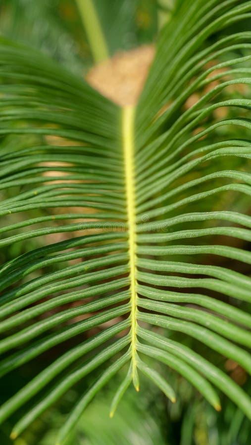 Detalhe de folha de palmeira fotografia de stock