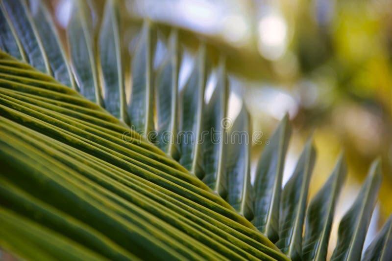 Detalhe de folha de palmeira nova, fundo do natur foto de stock