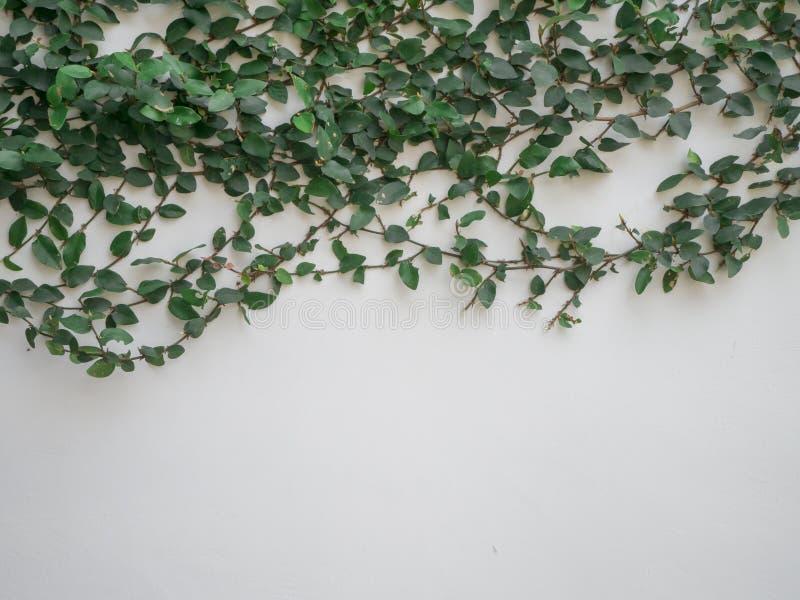 Detalhe de folhas da hera em um fundo branco da parede com espaço da cópia, conceito da natureza fotografia de stock