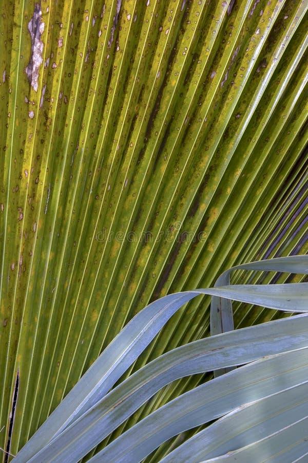 Detalhe de folhas mexicanas da palmeira foto de stock