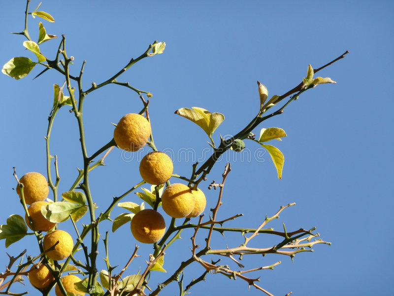 Detalhe de frutas em uma árvore de limão foto de stock royalty free