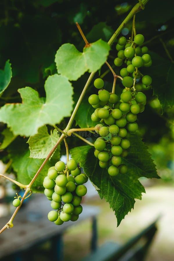 Detalhe de grupos das uvas brancas, quando forem ainda verde verde no verão, na videira imagens de stock royalty free