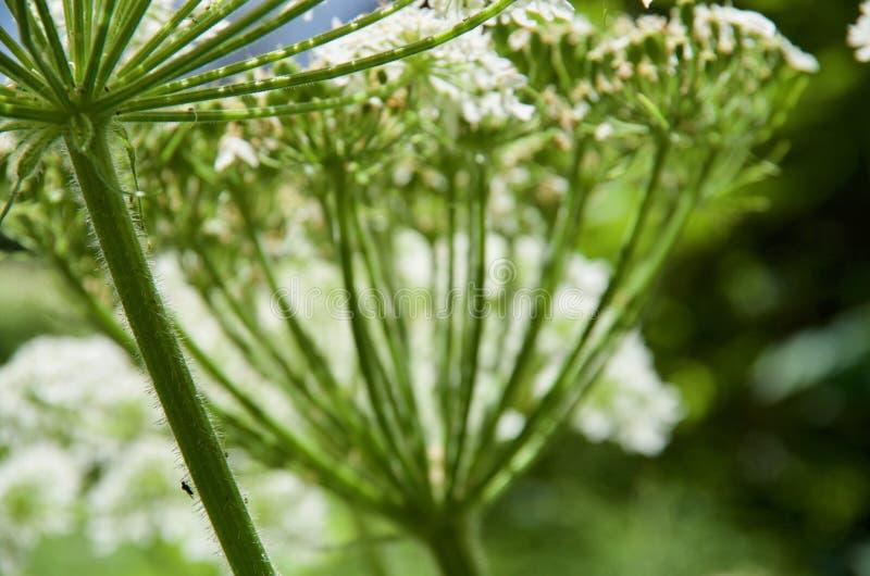 Detalhe de haste peludo do umbel da pastinaga de vaca com flores obscuras atrás imagens de stock