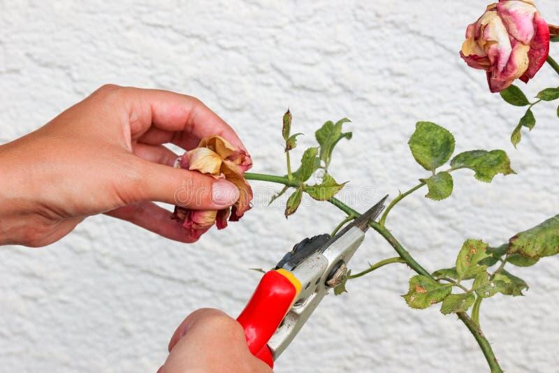 Detalhe de mãos da mulher que poda rosas com tesouras do jardim Parede branca com teste padrão no fundo Rosas secas Rosa sae com  fotografia de stock royalty free