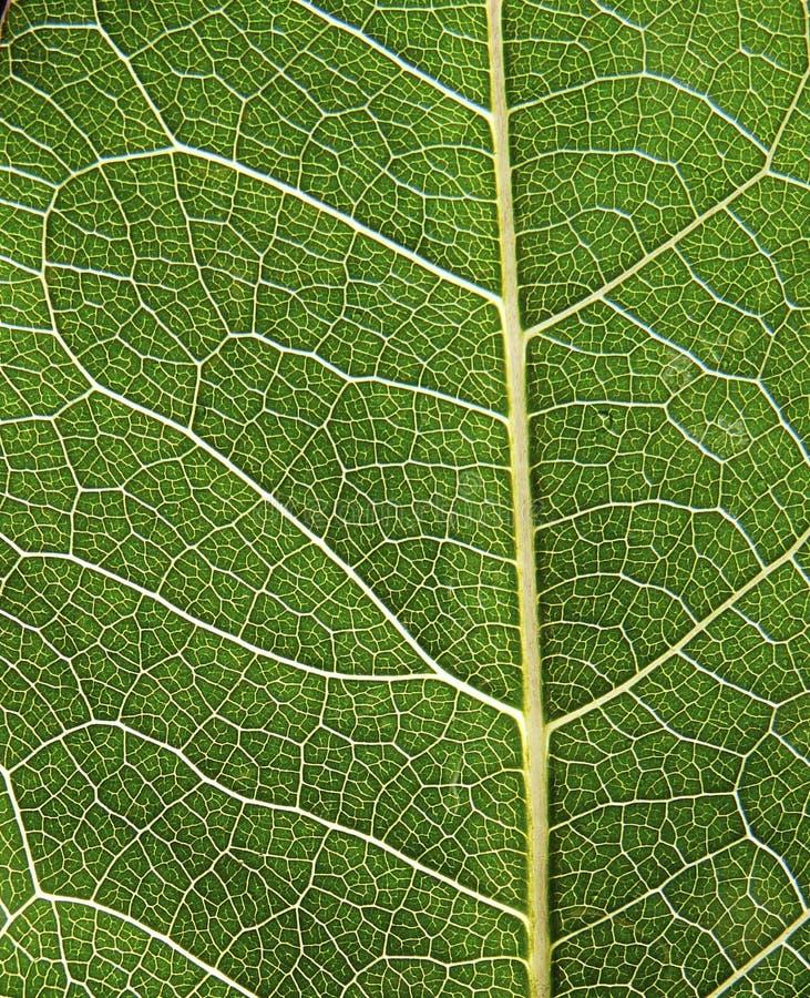 Detalhe de macro dos nervos de uma folha fotos de stock