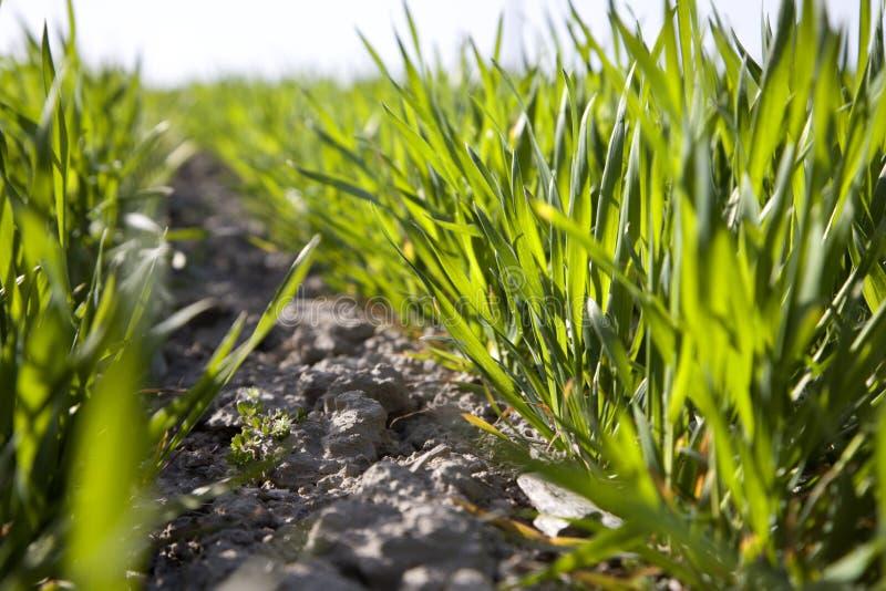 Detalhe de milho do campo da mola imagens de stock royalty free
