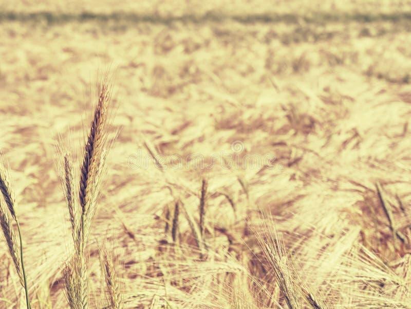 Detalhe de milho do centeio ou de cevada no campo Agricultura e natureza foto de stock