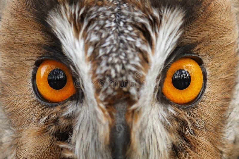 Detalhe de olhos da coruja Retrato do close-up de coruja Longo-orelhuda que senta-se no ramo na floresta caída do larício durante foto de stock royalty free