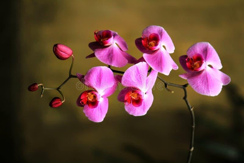 Detalhe de orquídeas roxas da lua com fundo obscuro de Brown imagens de stock