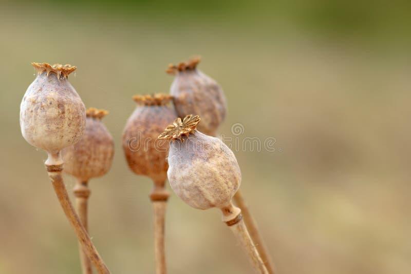 Detalhe de poppyheads da árvore no campo foto de stock royalty free