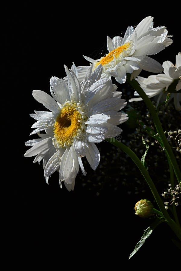 Detalhe de ramalhete das flores brancas do Leucanthemum Vulgare das margaridas do boi-olho e das flores auxiliares pequenas no fu fotografia de stock