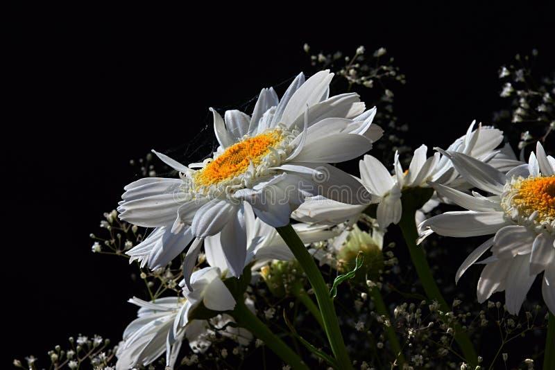 Detalhe de ramalhete das flores brancas do Leucanthemum Vulgare das margaridas do boi-olho e das flores auxiliares pequenas no fu imagem de stock