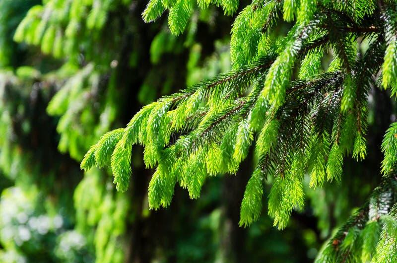 Detalhe de ramo spruce fresco imagem de stock