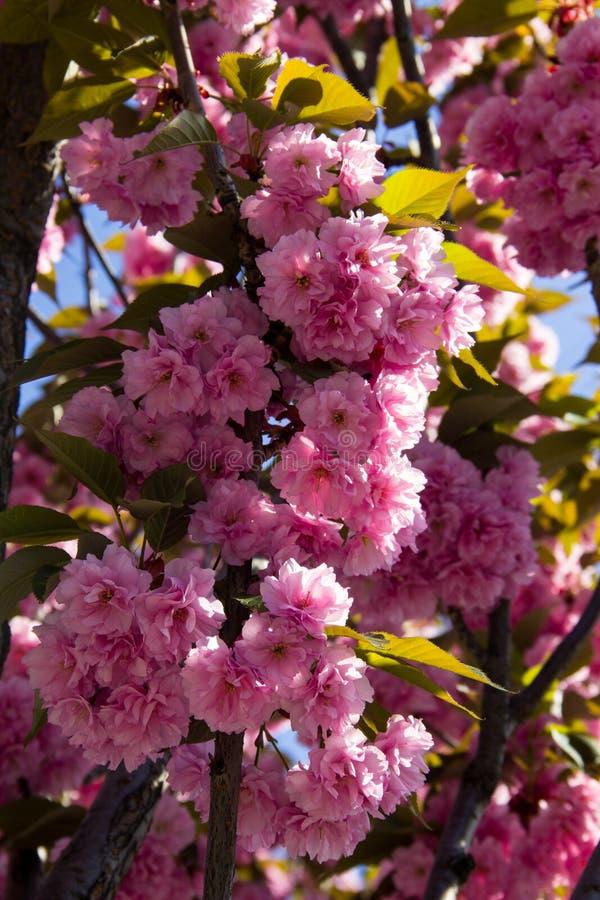 Detalhe de rosa que floresce a árvore de cereja japonesa - Sakura imagens de stock