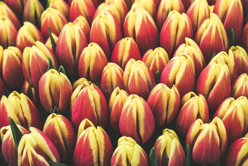 Detalhe de tulipas amarelas vermelhas bonitas Ramalhete das flores Imagem de cima de As tulipas filtram Conceito da Holanda, flor imagem de stock royalty free