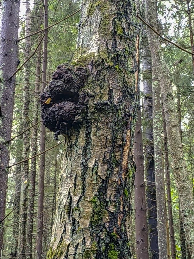 Detalhe de um crescimento da árvore, burl em um tronco de árvore em uma floresta, doença imagem de stock royalty free